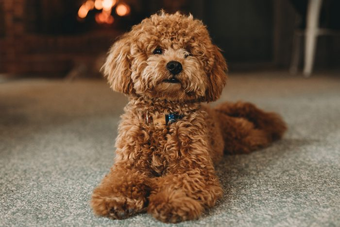 Poodles are cuddly and eager to please. Their sharp senses make them an ideal contender for a medical service dog. - ServiceDogCertifications