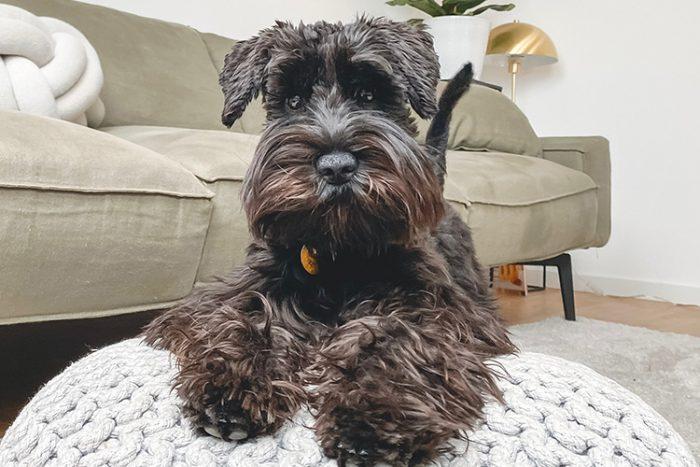 10 Best Psychiatric Service Dog Breeds - Miniature Schnauzer - ServiceDogCertifications